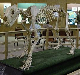 American Lion skeleton