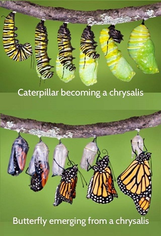 Catterpillar to chrysalis to butterfly in 10 photos