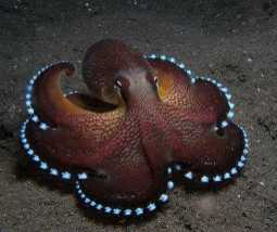 Coconut Octopus also called Veined Octopus