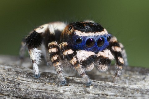 Blue Peacock Spider